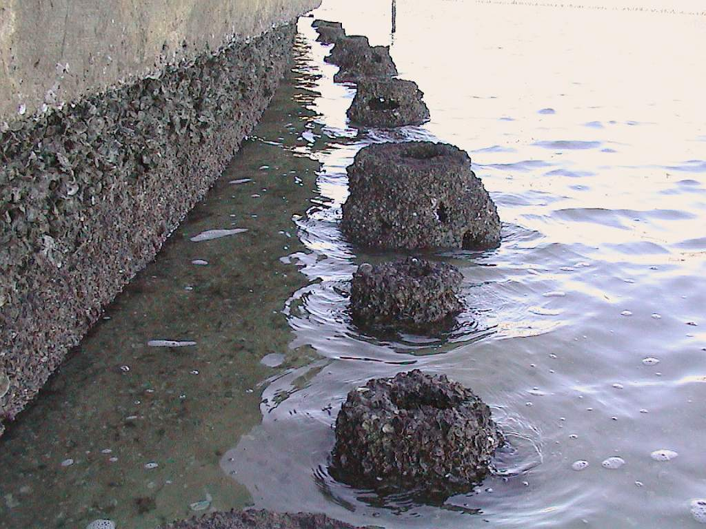 oysters  reefballs2